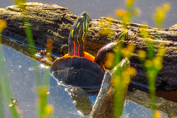 Painted Turtle © David Ennis