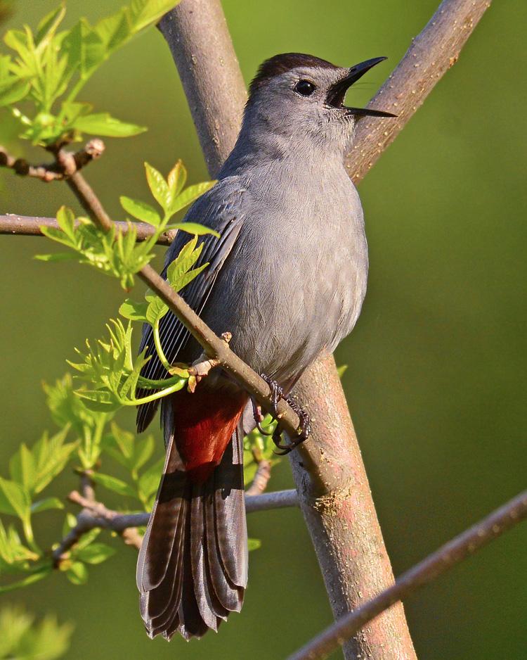 Gray Catbird © Richard Alvarnaz