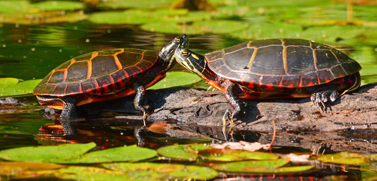Painted Turtles © Richard Alvarnaz