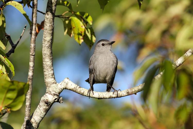 Gray Catbird © Jonathan Eckerson