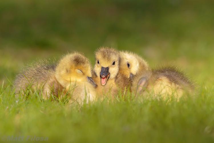 Canada Goose Goslings © Matt Filosa