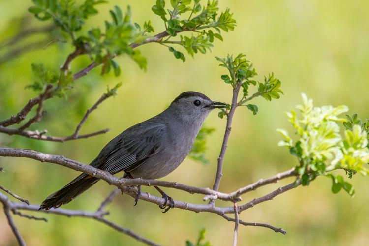 Gray Catbird © Gerry Savard