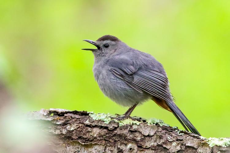 Gray Catbird © Marco Jona