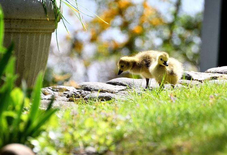Canada Goose Goslings © Riju Kumar