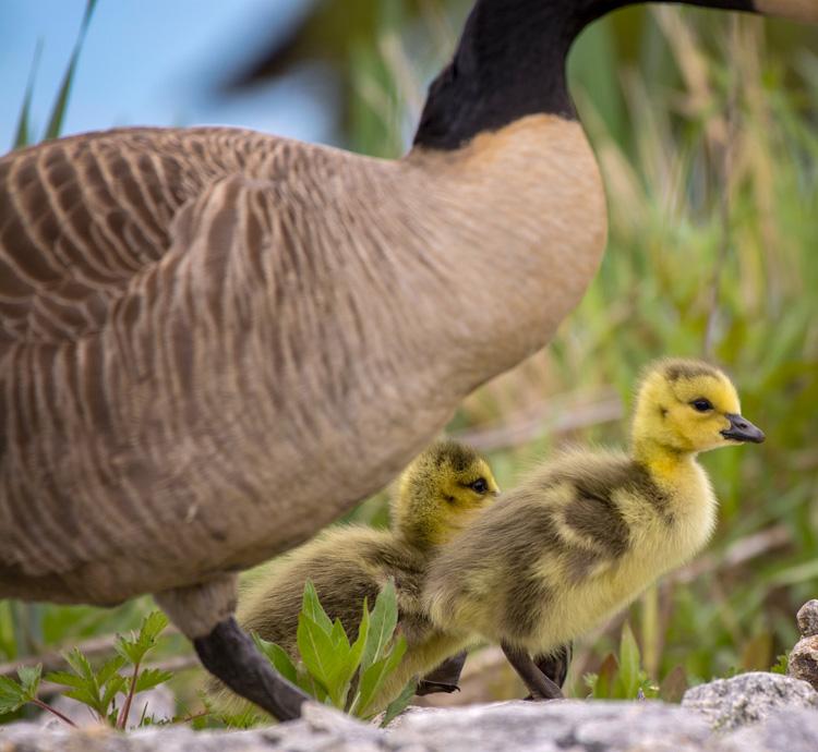 Canada Goose Goslings © Kathy Hale