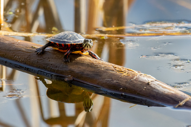 Painted Turtle © Suzanne Hirschman