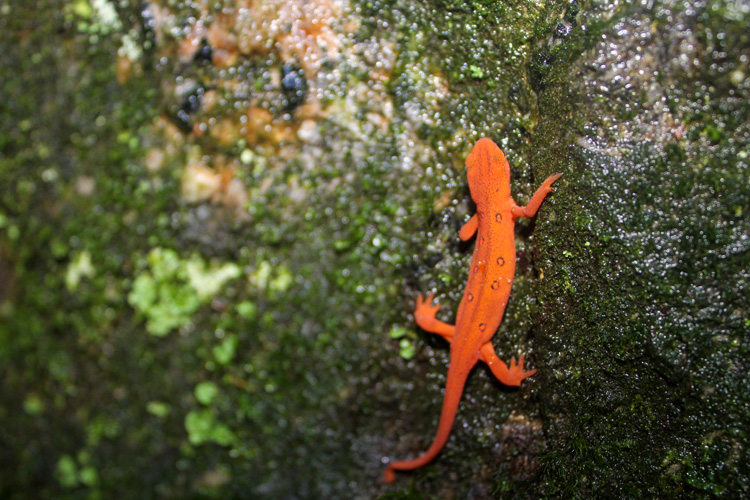 Red Eft © Emerson Booth