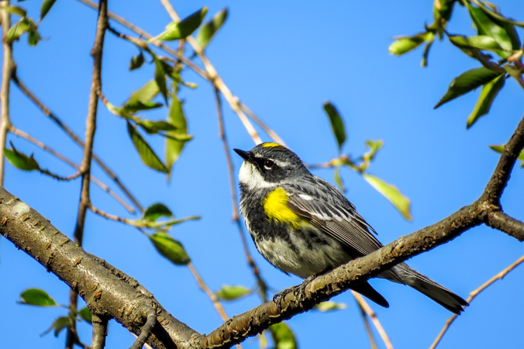 Yellow-rumped Warbler © Brian Lipson