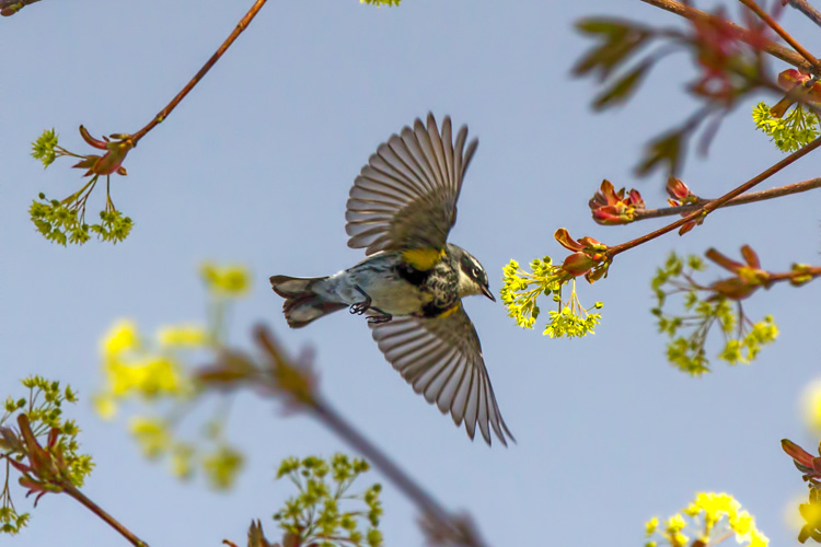 Yellow-rumped Warbler © Anne Greene