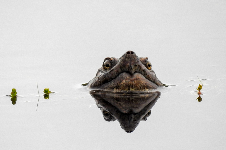 Snapping Turtle © Mary McDonough