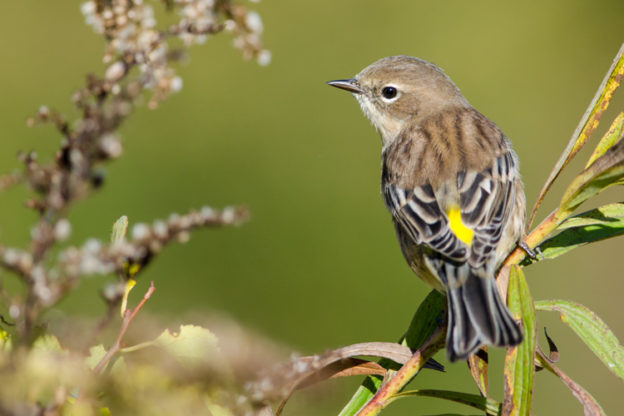 Yellow-rumped Warbler © Patrick Randall