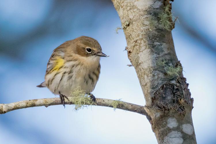 Yellow-rumped Warbler © A Grigorenko