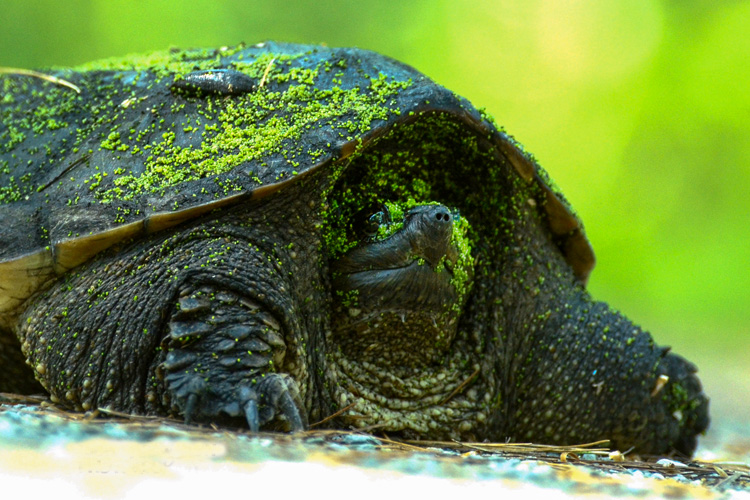 Snapping Turtle © Richard Welch