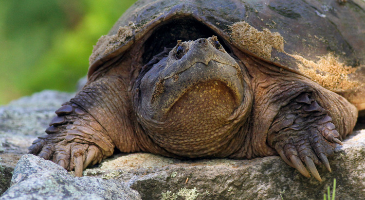 Snapping Turtle © Jim Morelly