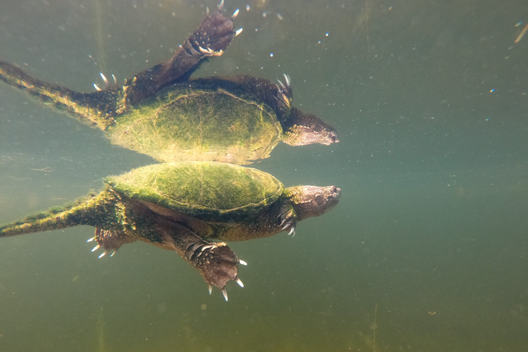 Snapping Turtle © Mark Renehan