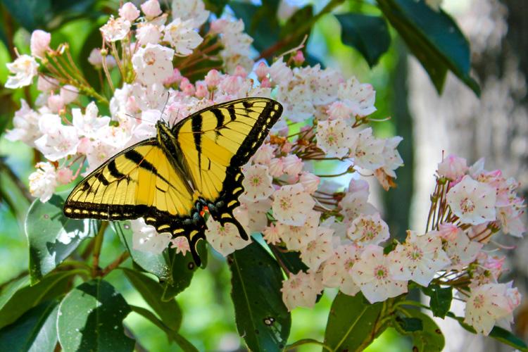 Tiger Swallowtail © Paula Orlando