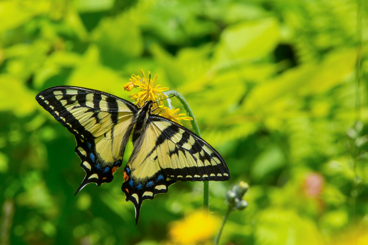 Tiger Swallowtail © David Peller
