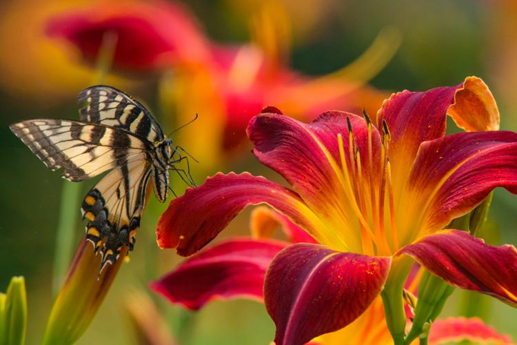 Tiger Swallowtail © Jonathan McElvery
