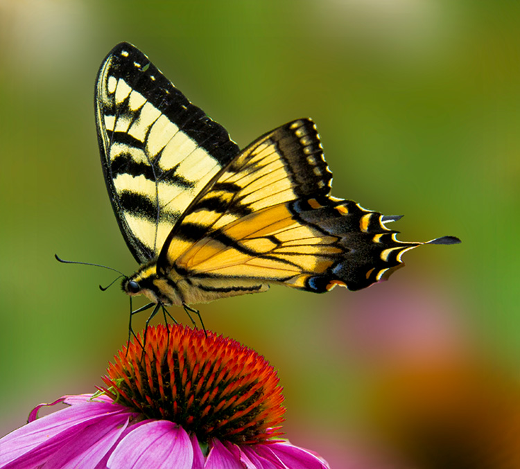 Tiger Swallowtail © Stephanie Gill