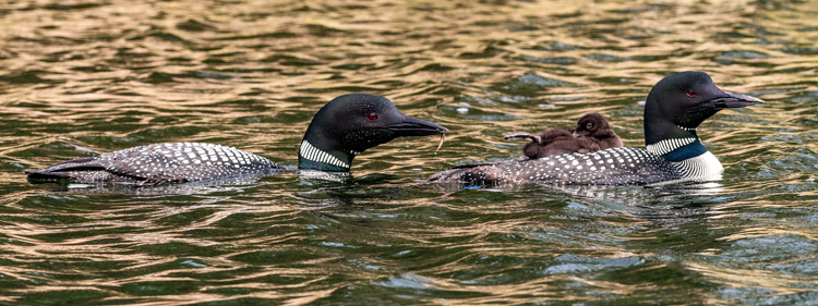 Common Loons © Michael Goodman