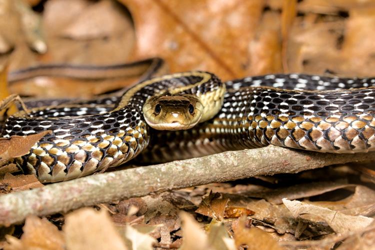 Garter Snake © John Gounarides