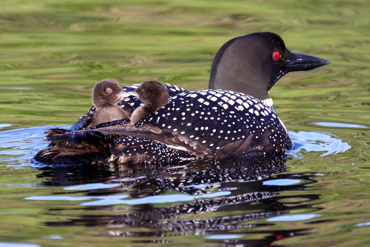 Common Loons © Michael Phillips