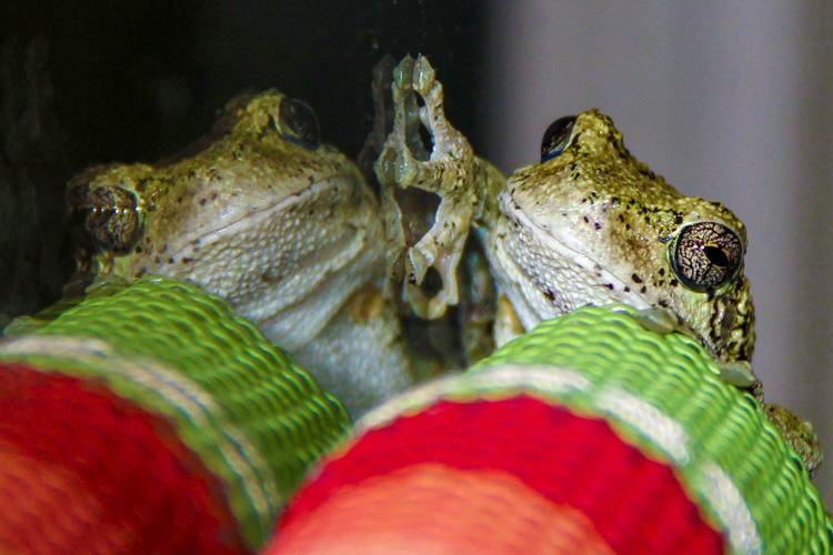 Gray Treefrog © Aimee Grace