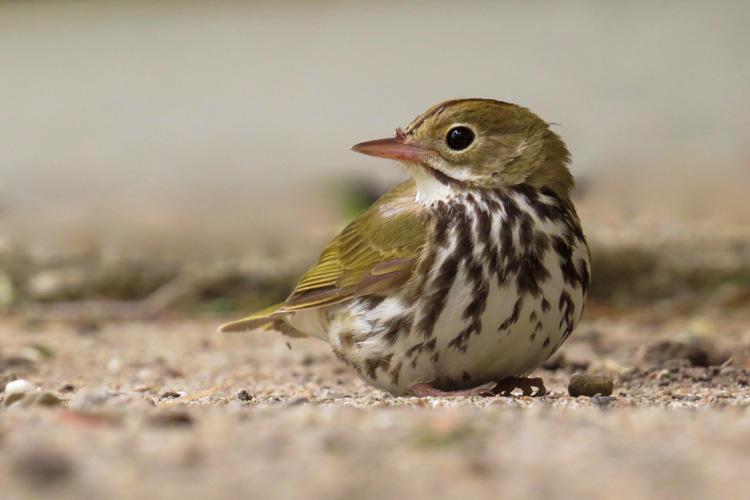 Ovenbird © Joel Eckerson