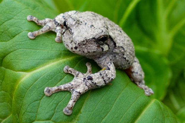 Gray Treefrog © Allison Bell