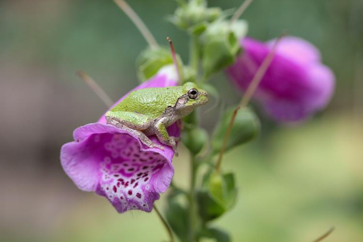 Gray Treefrog © Bryan Gammons