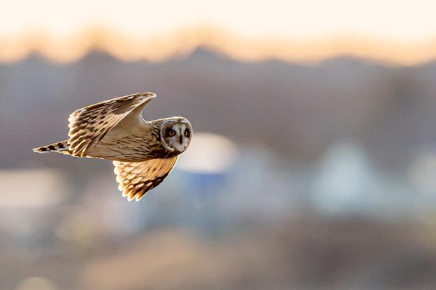 Short-eared Owl by David Morris