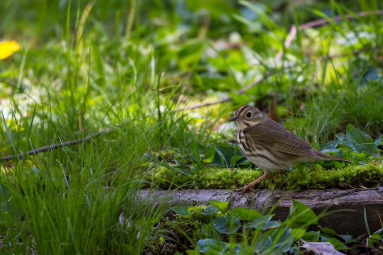 Ovenbird © Matt Watson