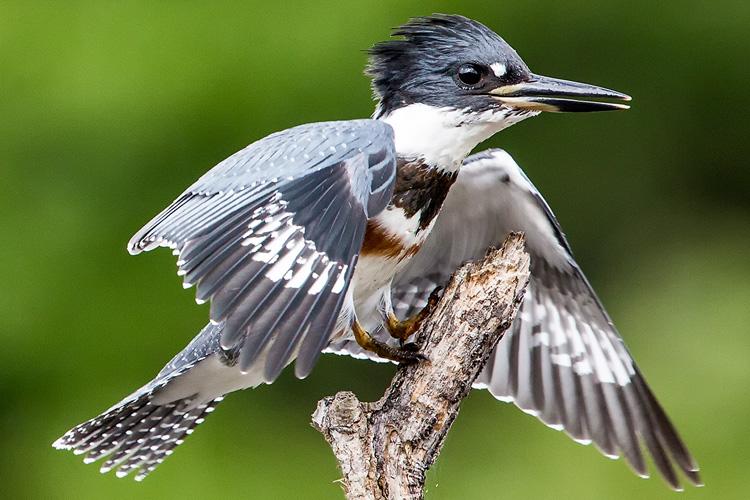 Belted Kingfisher at Wellfleet Bay ©Susan Wellington