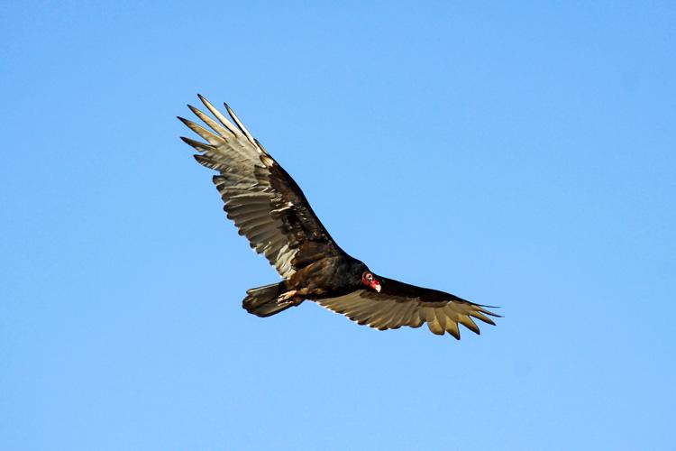 Turkey Vulture © Nigel Cunningham