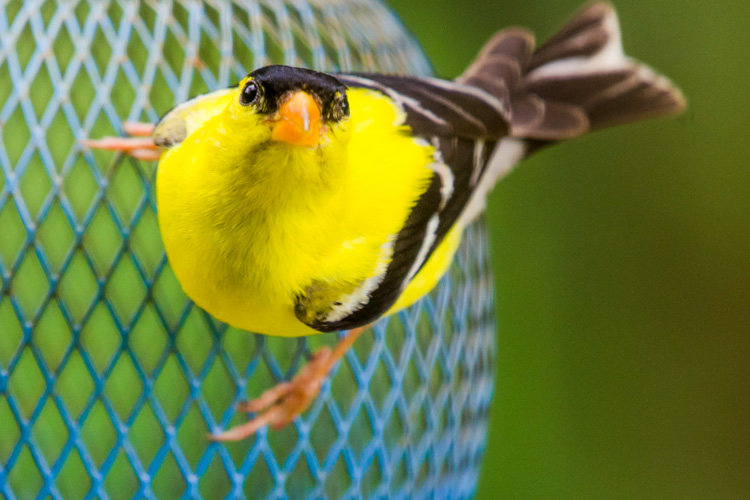 American Goldfinch © Karen Karlberg