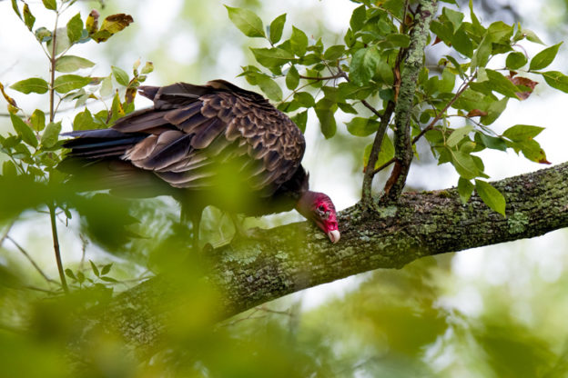 Turkey Vulture © Beth Finney