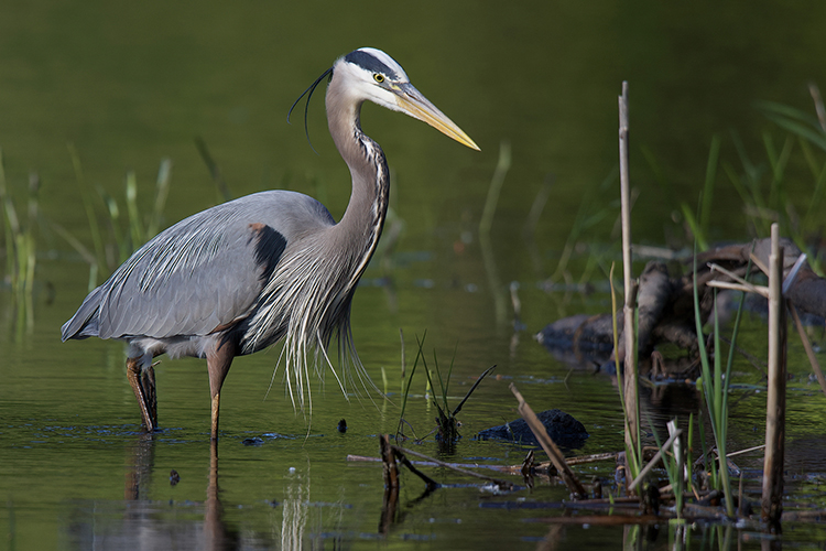 Great Blue Heron copyright John Yurka