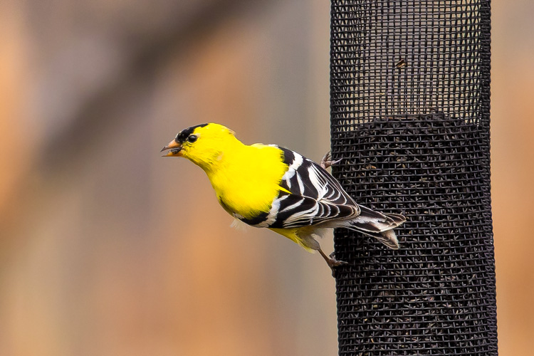 American Goldfinch © Anindya Sen