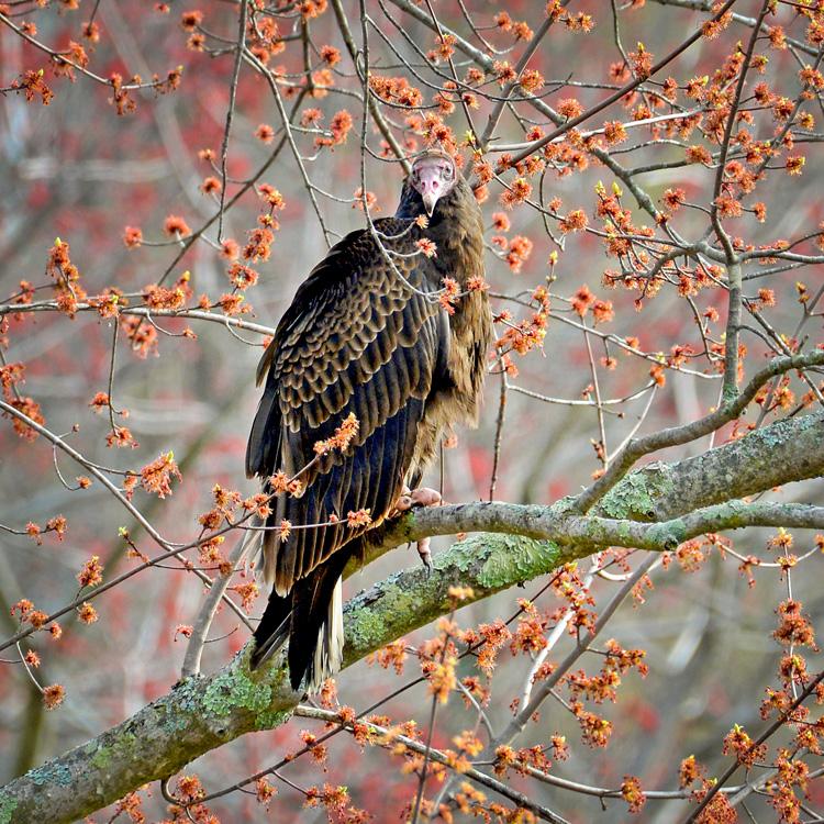 Turkey Vulture © George Ann Millet