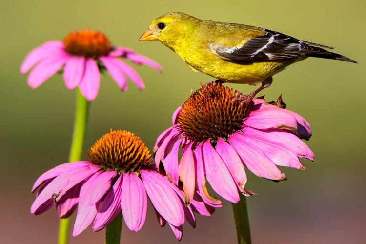 American Goldfinch © Sarah Keates