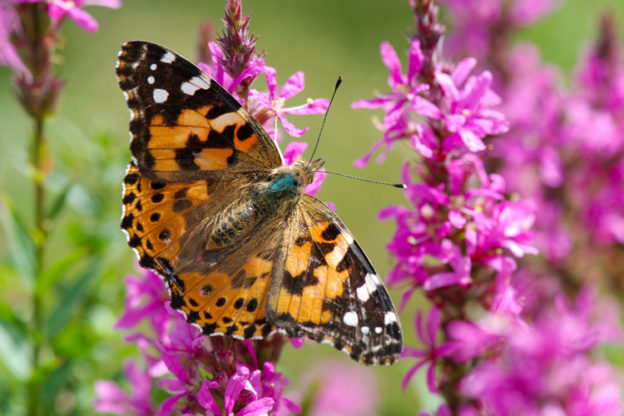 Painted Lady © Gillian Henry