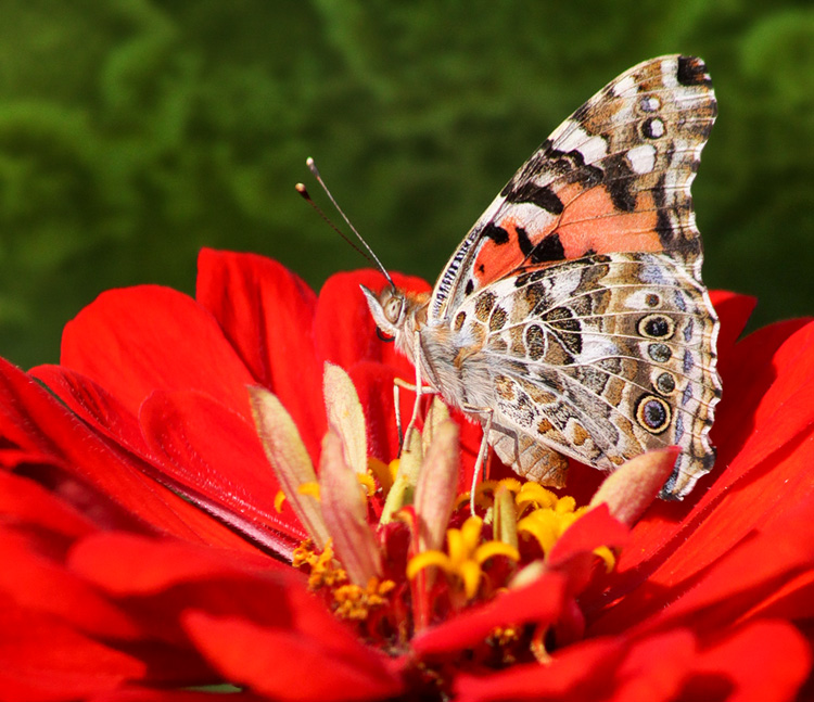 Painted Lady © Don Bullens