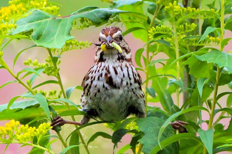 Song Sparrow © Lucy Allen