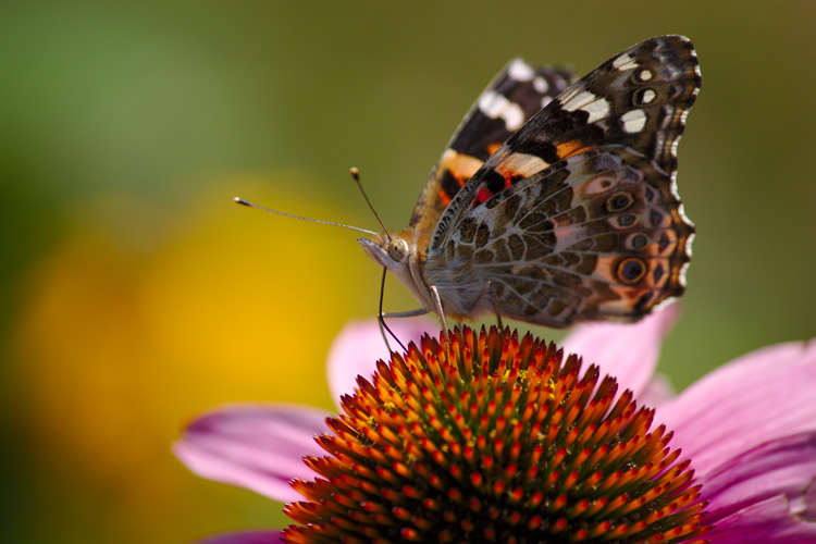 Painted Lady © David Perkins