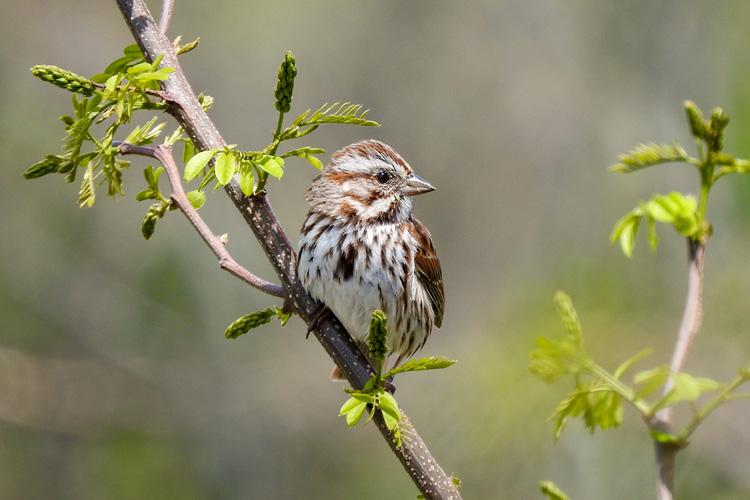 Song Sparrow © Cristina Hartshorn
