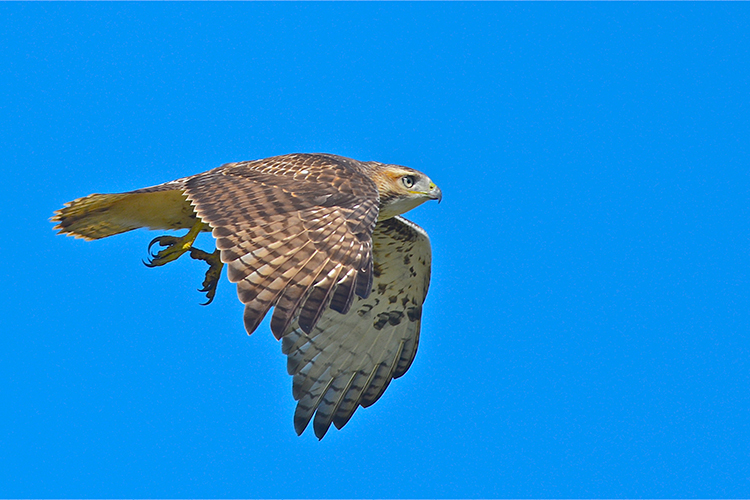 Red-tailed Hawk copyright George Brehm