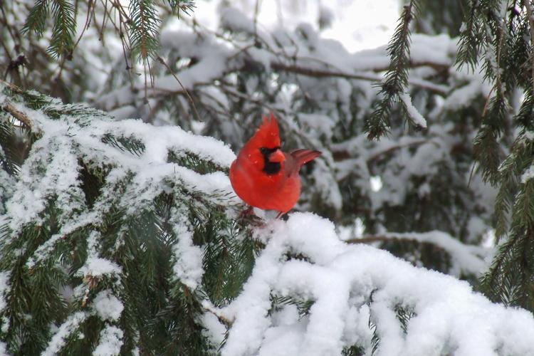 Northern Cardinal © James Minichiello