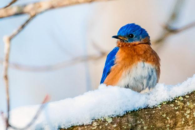 Eastern Bluebird © Norman Corliss