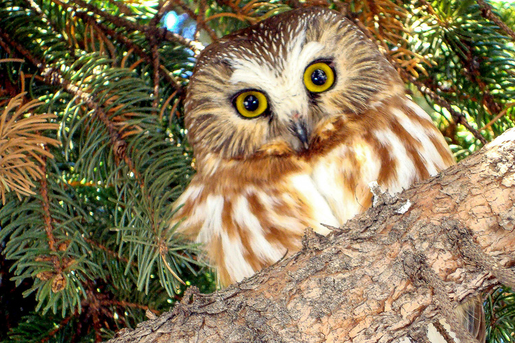 Northern Saw-whet Owl © Jennifer Johnston