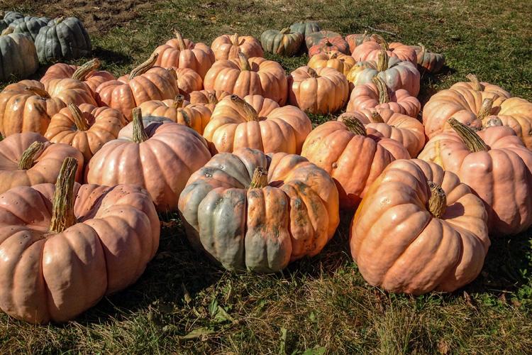 Pumpkins in Bolton, MA © Carmella Kurriss